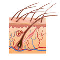 Human skin and hair structure. Vector illustration. Stock Image
