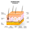 Human skin layer vector cross section the a sensory organ with a dense network of nerves pressure vibration temperature pain and Stock Photography