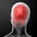 Human skull anatomy d render top view Royalty Free Stock Image