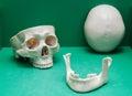 .Human Skull box, jaw frontal bone. Royalty Free Stock Photo