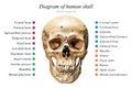 Human skull diagram Royalty Free Stock Photo