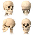 Human skull four views very detailed and scientifically correct three orthogonal plus perspective on white background anatomy Royalty Free Stock Photo