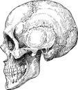 Human skull sketch Royalty Free Stock Photo