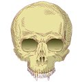 The human skull vector illustration Stock Photography