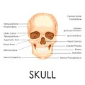 Human skull vector illustration of diagram of Stock Image