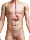 Human stomach Royalty Free Stock Photography
