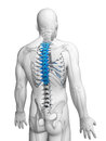 Human thoracic spine d rendered illustration Royalty Free Stock Photography