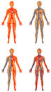 Human vascular system female circulatory bloodstream arterial and venous systems Royalty Free Stock Images