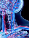The human vascular system neck Royalty Free Stock Photo