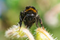 Humble bee close up wet drying on a plant front portrait Royalty Free Stock Photos