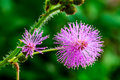 Humble plant flowers in early morning pink color always blooming Royalty Free Stock Photography