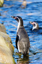 Humboldt penguin closeup of a spheniscus humboldti standing in ocean Royalty Free Stock Photography