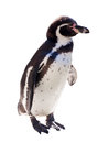 Humboldt penguin  over white Royalty Free Stock Photo