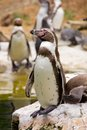 Humboldt penguin ready to jump into the water Royalty Free Stock Image