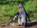 Humboldt Penguin Spheniscus Humboldti, Der Humboldt-Pinguin Oder Humboldtpinguin, Le Manchot De Humboldt - Zoo Zuerich, Schweiz