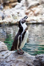 Humboldt Penguin on the stone coast Royalty Free Stock Image