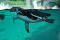 Humboldt penguin swimming Stock Photos