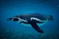 Humboldt penguin swimming underwater Royalty Free Stock Photo