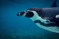 Humboldt penguin underwater close up. Royalty Free Stock Photo