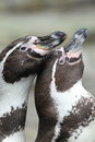 Humboldt penguins the couple of Stock Photo
