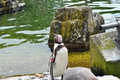 Humboldt penquin standing by pool on rock a picture number three of three Royalty Free Stock Photo