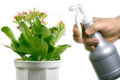 Humidification Kalanchoe. Stock Photography