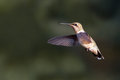 Hummer a femal ruby throated hummingbird hovers in flight Stock Images