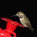 Humming Bird at Feeder Royalty Free Stock Photo