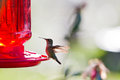 Humming bird feeding on a home feeder with simple syrup Royalty Free Stock Photography