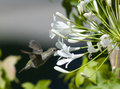 Humming bird feeing on white flower Royalty Free Stock Photography