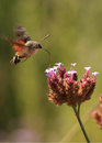 Humming bird Hawk moth - Macroglossum stellatarum Royalty Free Stock Photo