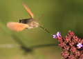 Humming bird moth ( Macroglossum stellatarum ) Royalty Free Stock Photo
