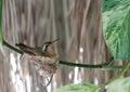 Humming bird nesting on a houseplant Royalty Free Stock Image