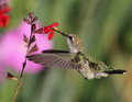 Humming bird from palomino valley nevada Stock Photo