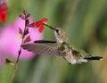 Humming Bird Royalty Free Stock Photo