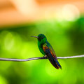 Humming bird resting on a wire trinidad and tobago Royalty Free Stock Image