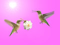 Hummingbird carrying a rose Stock Photo