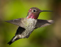 Hummingbird closeup of a in flight Royalty Free Stock Photography