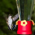 Hummingbird coming in to a feeder female ruby throated stopping hover by Royalty Free Stock Images