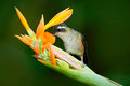 Hummingbird drinking nectar from orange and yellow flower. Hummingbird sucking nectar. Feeding scene with hummingbird. Hummingbird Royalty Free Stock Photo