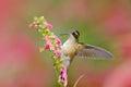 Hummingbird drinking nectar from pink flower. Hummingbird sucking nectar. Feeding scene with Speckled Hummingbird. Bird from Ecuad Royalty Free Stock Photo