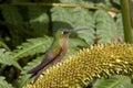 Hummingbird - Ecuador