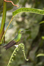 Hummingbird - Ecuador Royalty Free Stock Images