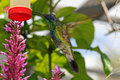 Hummingbird at feeder Royalty Free Stock Images