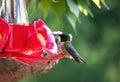 Hummingbird on Feeder Royalty Free Stock Photo