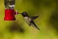 Hummingbird and feeder. Royalty Free Stock Photo