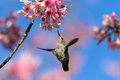 Hummingbird feeding on cherry blossom tree Stock Photos