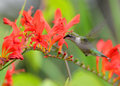 Hummingbird feeding on crocosmia female ruby throated at flower in our garden Stock Photography