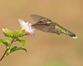 Hummingbird feeding on a flower Royalty Free Stock Photography