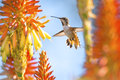 Hummingbird feeding from orange color flower Stock Photos